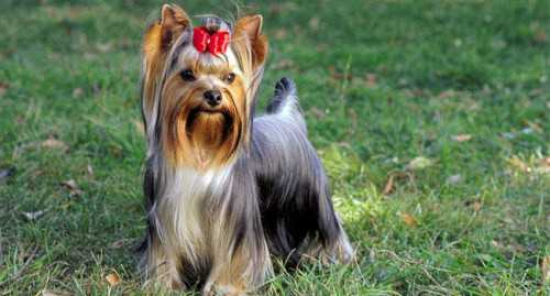 порода собак стаффорд, американский терьер: описание, уход и питание для щенка