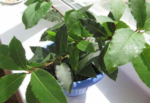 это растение убивает 14 видов рака и 13 видов инфекции так почему врачи не назначают его